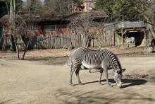 The Grevy's Zebra, Equus Grevy...