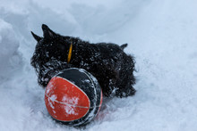 Young Scottish Terrier Dog Is ...
