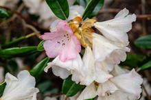 Berg's Queen Bee Rhododendron In Full Bloom