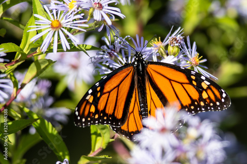 Photo Monarch Butterfly Sipping Nectar from the Accommodating Flower