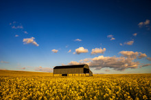 English Barn In A Field Of Oil...