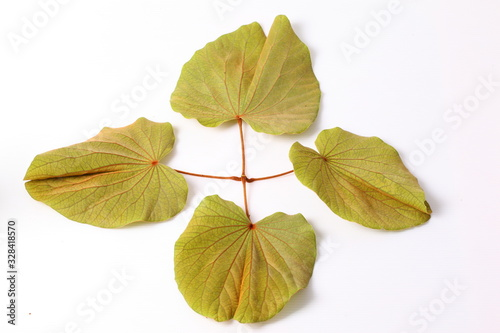 Green leaves of golden leaved liana (Bauhinia aureifolia K Fototapet