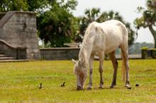 Feral Horse Grazing In A Field...