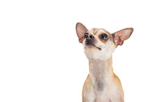 Cute Excited Chihuahua Looking...