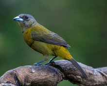 Passerini's Tanager (female) -...