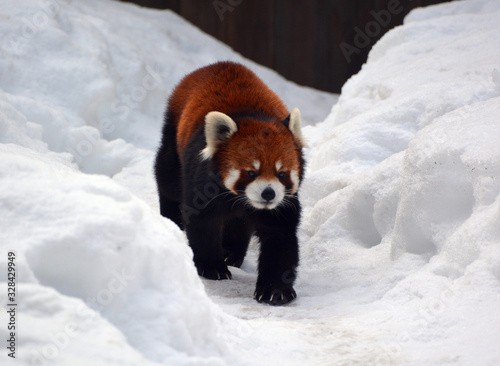 The red panda (Ailurus fulgens), also called lesser panda and red cat-bear, is a small arboreal mammal native to the eastern Himalayas and south-western China Canvas Print