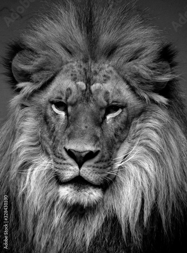 Fototapety, obrazy: Male lion: Highly distinctive, the male lion is easily recognized by its mane, and its face is one of the most widely recognized animal symbols in human culture.