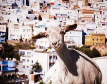 Domestic Goat With The City Of...