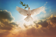 White Dove Carrying Olive Leaf Branch On Beautiful Light And Lens Flare .Freedom Concept And International Day Of Peace