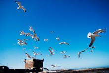 Birds In Flight In Essaouira, Morocco