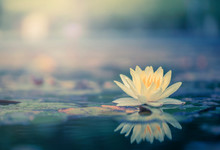 Beautiful  Thai Lotus That Hav...
