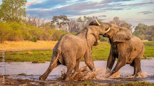 Photo Two bull elephants fighting and splashing in the Khwai River, Botswana