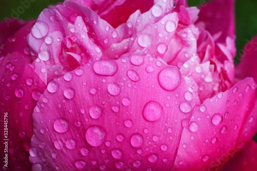 Pink Pfingstrosen Päonien mit Regentropfen auf den Blütenblättern  blühen im Garten und zeigen ihre großen Blüten