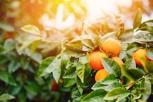 Ripe Orange Hanging On Tree Su...