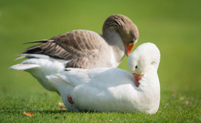 Geese Preening Feathers In The...