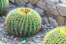 Echinocactus Grusonii, Popular...