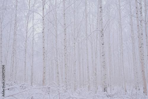 Fotomural 눈 내린 겨울왕국 자작나무숲