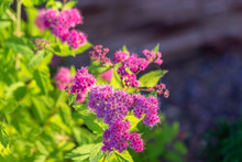 Spiraea Japonica With Yellow Leaves And Pink Flowers On Dark Background.Close Up.Soft Focus.Concept Of The Choice Of Decorative Plants For Landscaping Of Gardens, Parks.