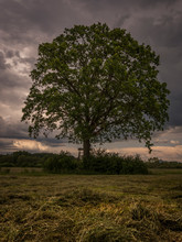 Isolated Massive Tree In The Landscape. Landscape With Dramatic Clouds Before Storm. In The Front Is Cutted Grass.