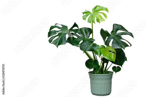 Fototapeta Beautiful of Monstera Deliciosa or Swiss Cheese plant in the green flower pot with sun reflection isolated on white background. This plant used for decoration home, office, living room or your garden. obraz na płótnie