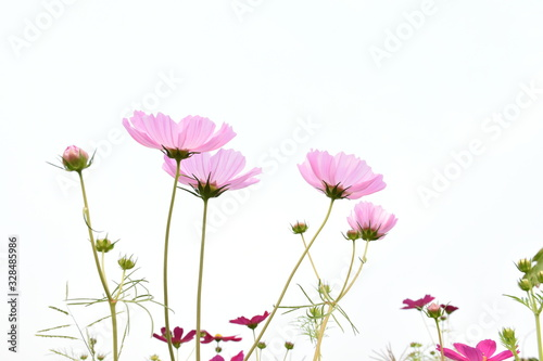 Pink cosmos on white background Tableau sur Toile