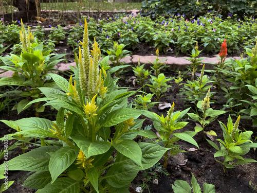 Fotografie, Obraz Celosia argentea or plumed cockscomb is a herbaceous plant of tropical origin