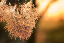 Lush Flowering Scumpia Bushes....