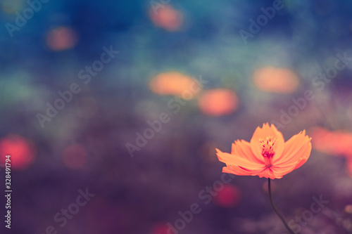 Fototapety, obrazy: Close up single Orange cosmos Cosmos sulphureus or yellow cosmos. Yellow-orange blooms. Yellow-orange blooms on blurred field of flower background in vintage tone