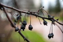 Rain Drops On A Branch In Rain...