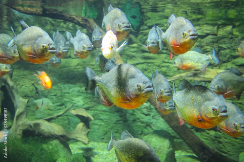 Valokuva A flock of Amazonian piranhas swimming in an aquarium.
