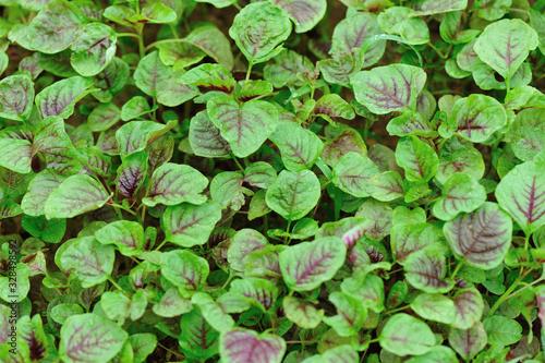 Photo Edible amaranth grow in vegetable garden