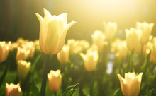 Yellow Tulip Flower Bloom On B...