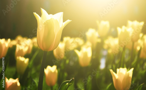 Photo Yellow tulip flower bloom on background of blurry tulips flowers on tulips field