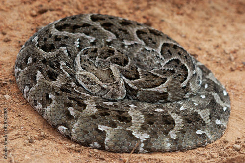 Photo Puff adder on the ground, South Africa