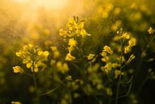 Beautiful Flowering Colza Fiel...