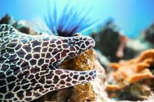 Laced Moray Fish At Coral Reef...