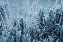 Cool Frosty Green Lavender Lea...