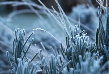 Cool Frosty Green Lavender Lea...