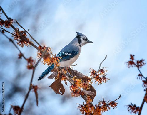 Fotografia Blue Jay