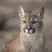 Portrait Of A Cougar In The Fo...