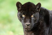 Portrait Of A Black Jaguar In The Forest