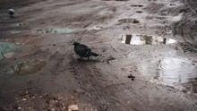 A Pigeon Splashes In A Muddy Puddle. Then He Runs To Another Puddle. Cool Bird. Interesting Moment.