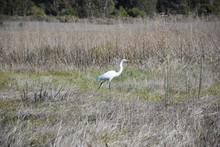 Great Egret Walking Through A Field Of Tall Grass