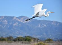 Gorgeous White Egret Flying In...