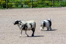 Polish Lowland Sheepdog Herding