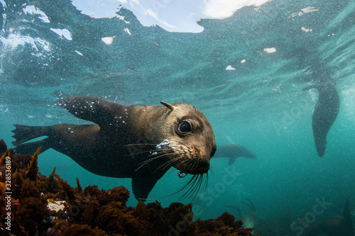 Obraz Cape fur seal underwater, Cape Town, South Africa - fototapety do salonu