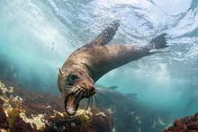 Cape Fur Seal Underwater, Cape...