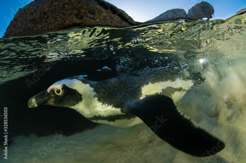 African penguin underwater, Cape Town, South Africa Canvas Print