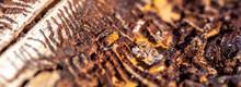 Spruce With Bark Beetle Infestation