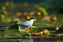 Common Tern (Sterna Hirundo) S...